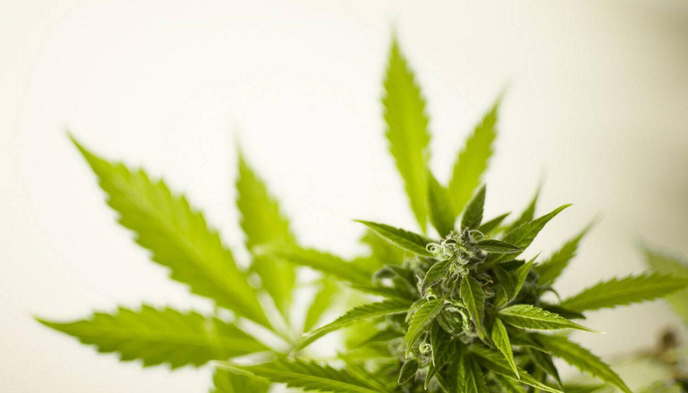 Marihuana lecznicza - co to jest