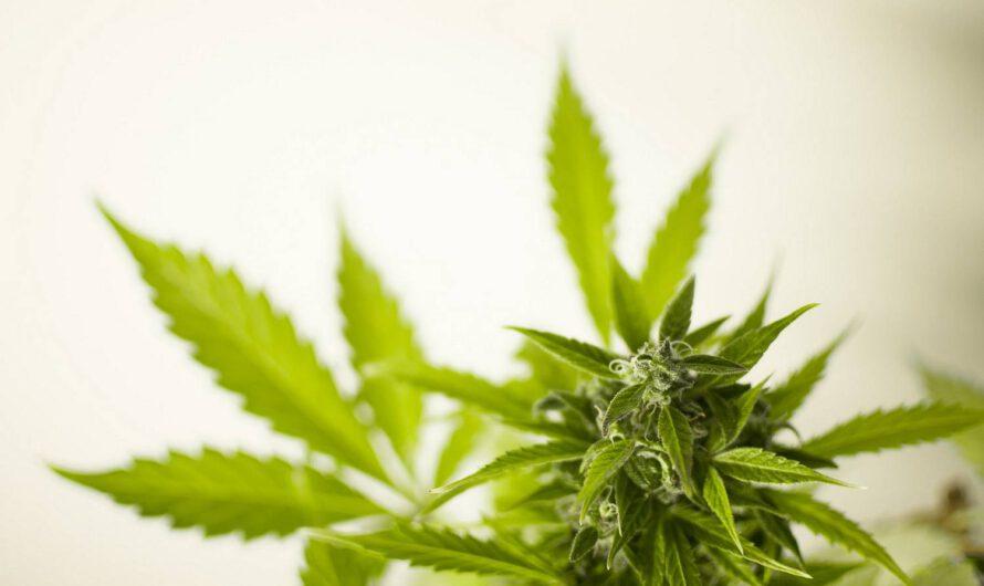 Marihuana lecznicza – co to jest